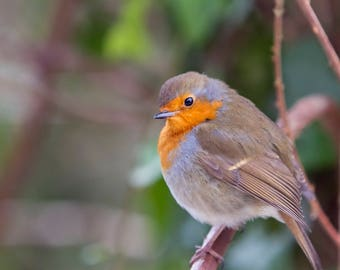 Perched, A Robin Red Breast perched on a branch in the undergrowth on the forest floor during a storm