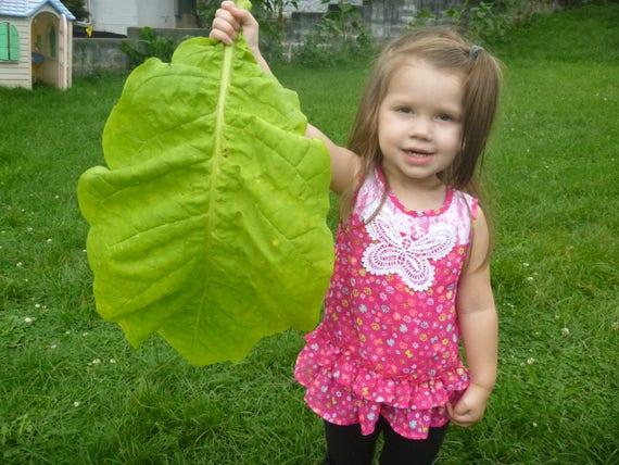 Turkish Virginia Burley Ultimate Tobacco Seed Set  3 Varieties 1,500 Seeds