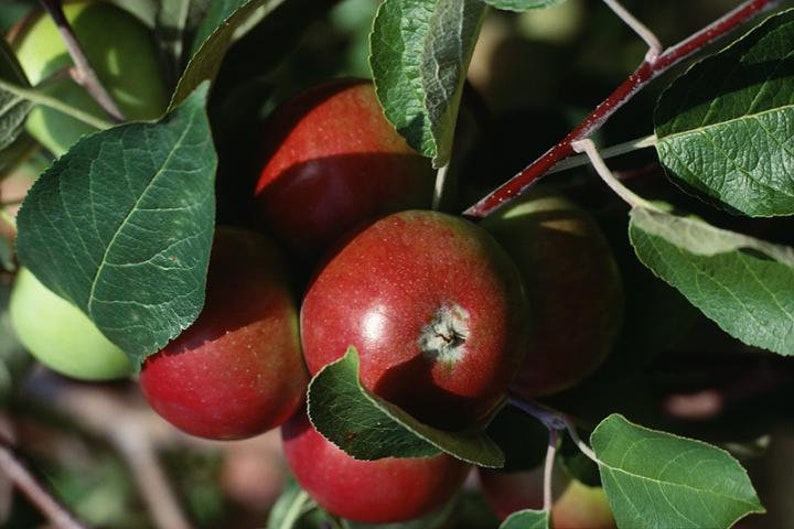 1 Gala Apple up to 1 foot tall