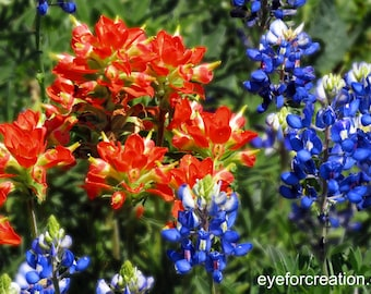 Indian Paintbrush amid Texas Bluebonnets, Wildflowers