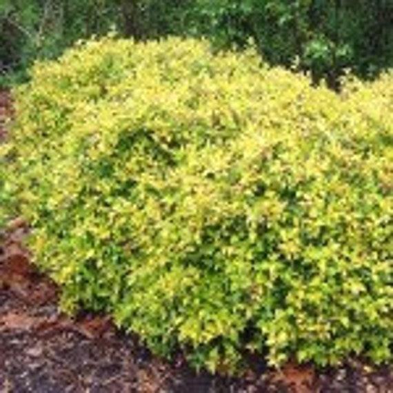 Abelia Grandiflora Francis Mason Etsy