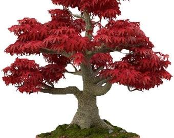 Bonsai Tree Seeds Etsy