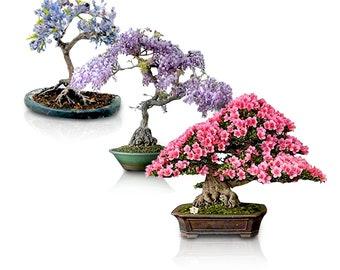 Willow Bonsai Tree Etsy