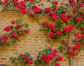 50 Climbing Rose Vine Seeds - Amazing Growth and Beautiful Roses