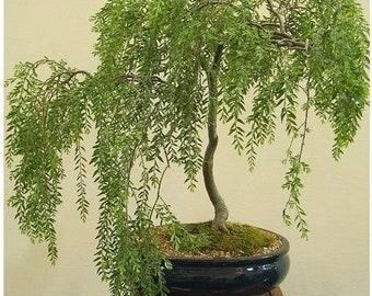 Indoor bonsai tree | Etsy