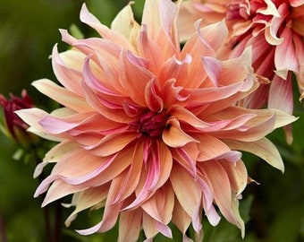 Dahlia Labyrinth  Flower Seeds, Exotic Mix 50+ Seeds - Made in USA, Ships from Iowa.