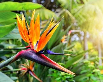 Bird of Paradise Flower Seeds - 5 Seeds to Grow - Great Indoor Plant or Bonsai - Strelitzia reginae