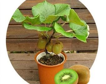 Bonsai Kiwi Tree Seeds for Planting | 50 Seeds | Actinidia chinensis Seeds