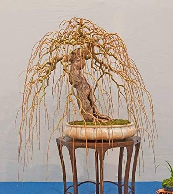 Golden dragon tree cuttings olympic runner steroids