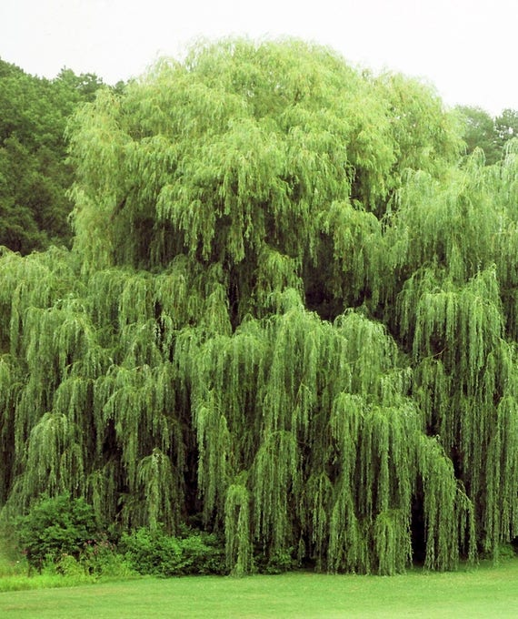 4 Weeping Willow Trees Ready To Plant Beautiful Arching Etsy
