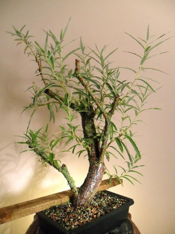Bonsai Tree Australian Willow Tree Cutting Nice Thick Etsy