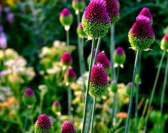 5 Allium Drumstick Bulbs - Stunning Spring Flowering Perennial Bulbs - Ship from Iowa, USA - Allium Sphaerocephalon