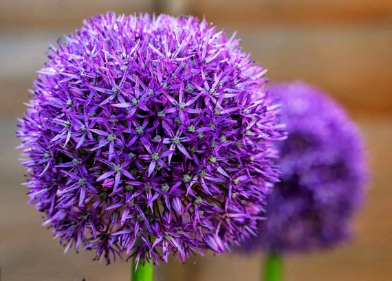 1 Allium Gladiator Bulb Ready To Plant In The Fall Etsy