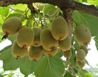 Kiwi Tree Seeds for Planting | 50 Seeds | Actinidia chinensis Seeds
