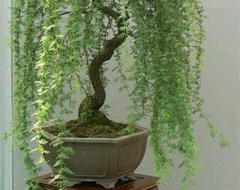 Bonsai Green Weeping Willow Tree - Thick Trunk Cutting - Exotic Bonsai Material
