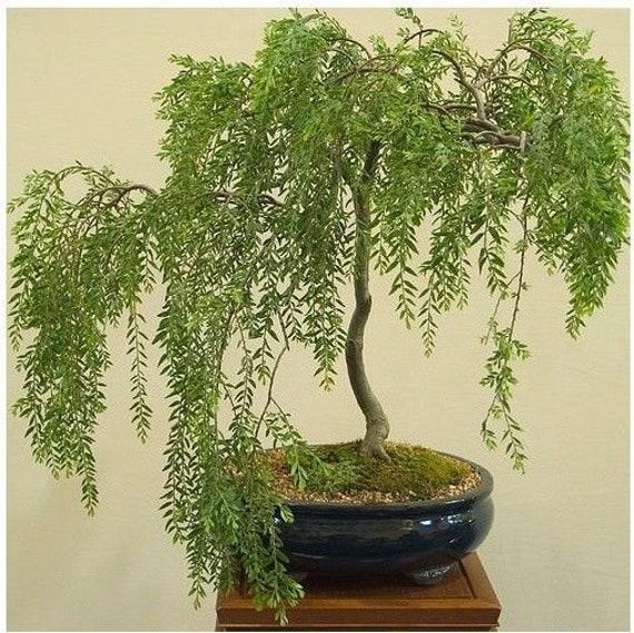Bonsai Boom Australische Willow Tree Snijden Mooie Dikke Etsy