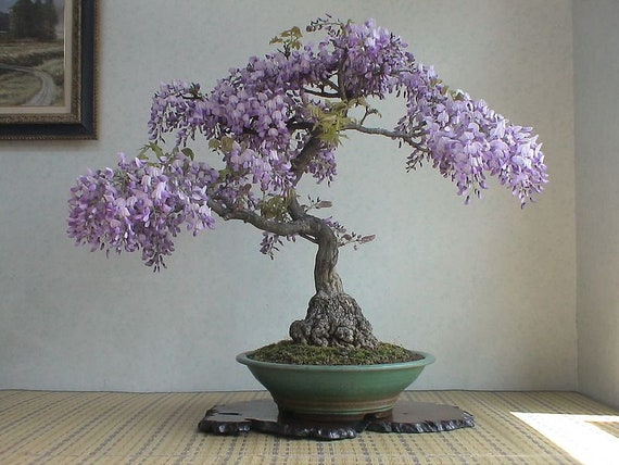 Bonsai Tree Chinese Wisteria Tree Seeds 10 Pack Highly Etsy