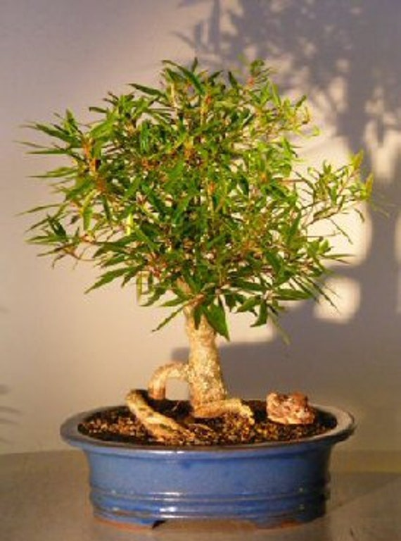 One Dwarf Weeping Willow Tree Cutting Excellent Bonsai Tree Etsy