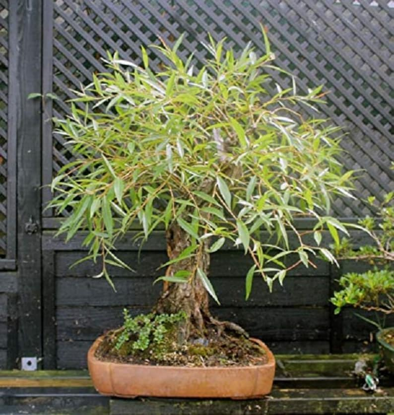 Naturally Round /& Symmetrical Canopy Bonsai Globe Willow Tree Indoor Outdoor Live Bonsai Tree Plant Large Thick Trunk Cutting