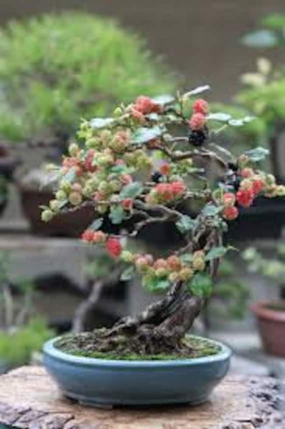 Bonsai Black Mulberry Tree Cutting Large Thick Trunk Fruit Bearing Indoor Bonsai Tree Cutting No Roots Detailed Instructions