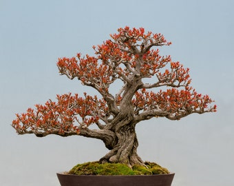Twisted Pomegranate Bonsai Tree Seeds - 20 Seeds to Grow - Highly Prized Edible Fruit - Made in USA, Ships from Iowa