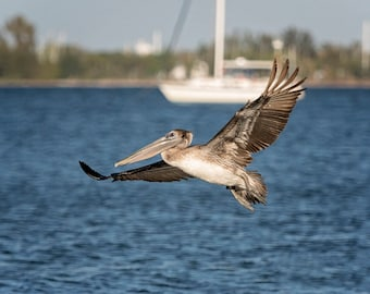 Pelican in Flight Photograph | Fine Art | Choice of Canvas, Metal Print or Framed | Coastal, Nature, Fish, Florida, Wildlife Photography