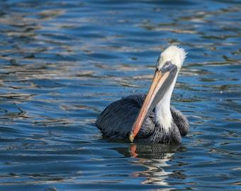 Pelican Photograph | Fine Art | Choice of Canvas, Metal Print or Framed Print | Coastal, Tropical, Nature, Florida, Photography