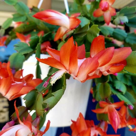 """Schlumbergera Hybride /"""" Orange /"""""""
