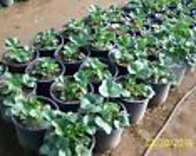"organic strawberry plants   - 1"" root -seascape ,everbearing 20 count U.S.A."