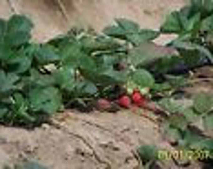 "organic strawberry plants   - 1"" root -eversweet ,ever bearing 12 count U.S.A."