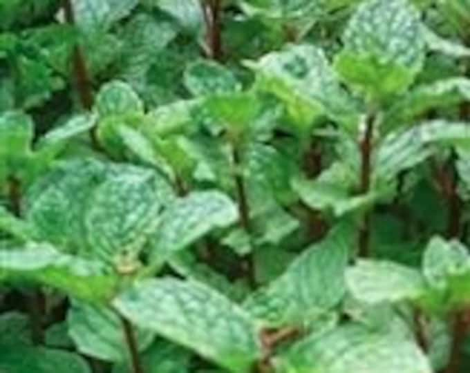 """Organic Mojito Mint (rooted) Plant 1 count 4""""-6"""" long. grown in U.S.A."""