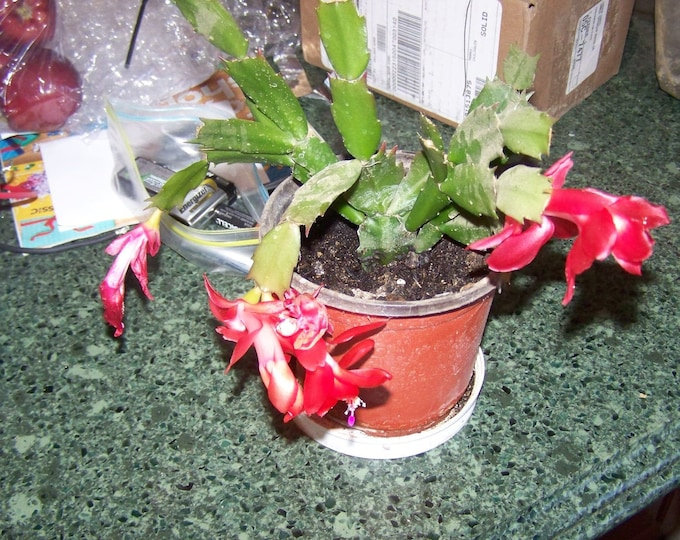 """Christmas Cactus plants - 1 -  rooted plant   - 2"""" to 4"""" -- Orange Flowers -  (Organic Grown )"""