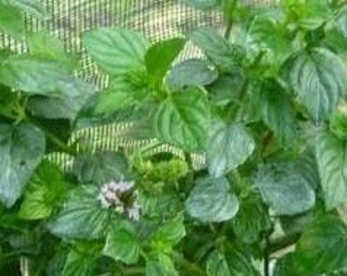 """Organic Lime Mint (Un-rooted) Cuttings 3 count 4""""-6"""" long. grown in U.S.A."""