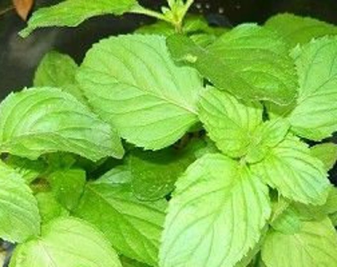 "organic apple mint  plant unrooted cuttings / 4 count 6"" long Grown in the U.S.A."