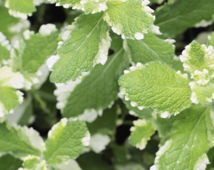 """organic pineapple mint plant(rooted)/ 1 count 4-6"""" long Grown in the U.S.A."""