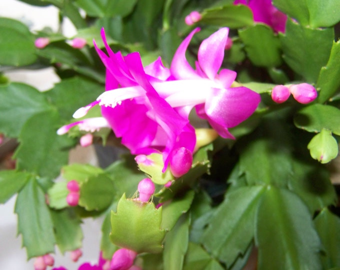 """Christmas Cactus plants -2 pc. /Un- rooted cuttings  - 2"""" to 4"""" -- Purple  Flowers -  (Organic Grown )"""
