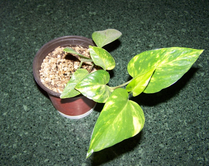 "Marble Queen Variegated Pothos Bare Rooted Plant 4""-12""  Houseplant (Organic Grown)"