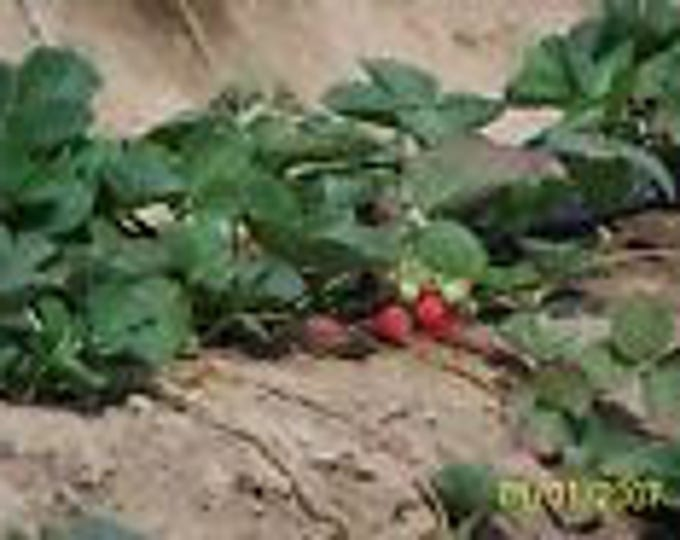 ORGANIC STRAWBERRY PLANTS -bare root -eversweet ,ever bearing 15 count U.S.A.