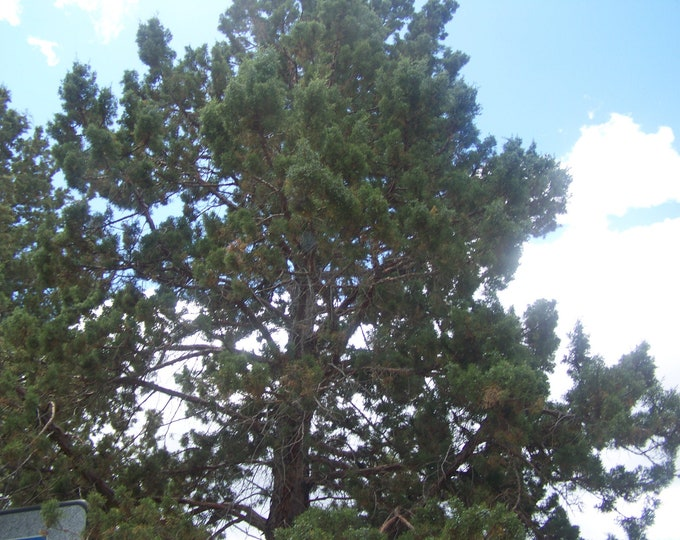 """Organic Juniper Tree Non - Rooted Cuttings 6"""" Long 4 Count Grown in U.S.A."""