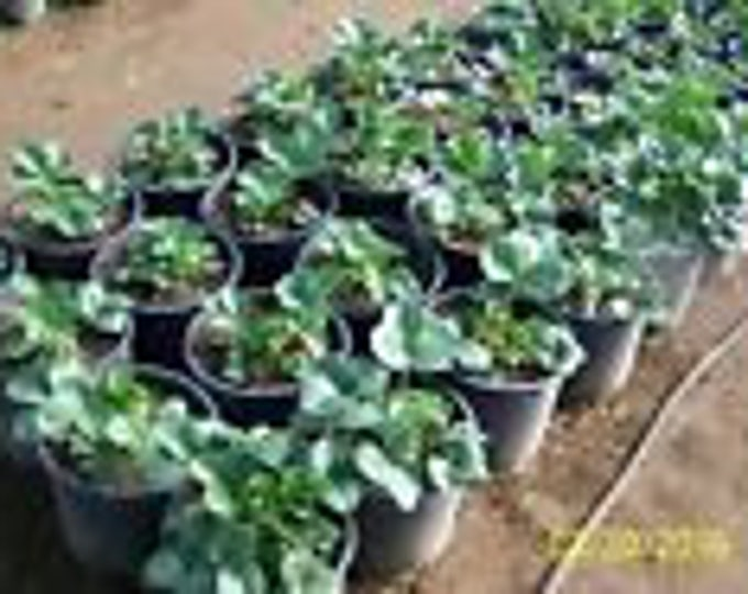 "12 Count-ORGANIC STRAWBERRY plants - 1"" bare  root -seascape ,everbearing  grown in U.S.A."