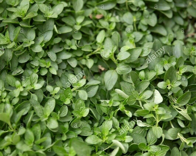 "100 % Organic  Oregano  Herb Plant-  1 -rooted 4"" to 6"" plant   / Grown in USA"