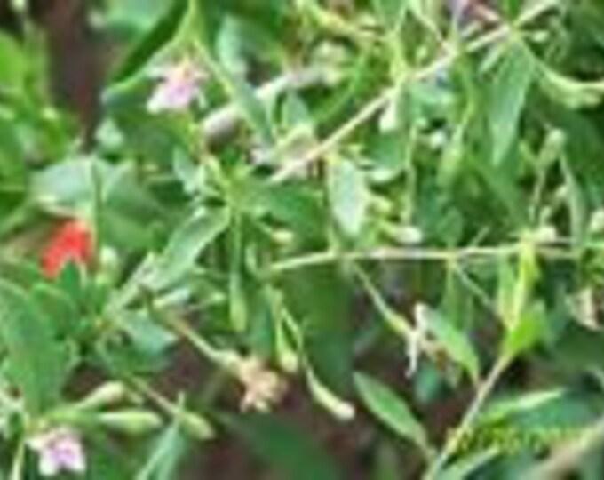 """ORGANIC GOJI BERRY plant(('crimson star') (cuttings ) 2 yr old 6-8"""" lg  5 count"""