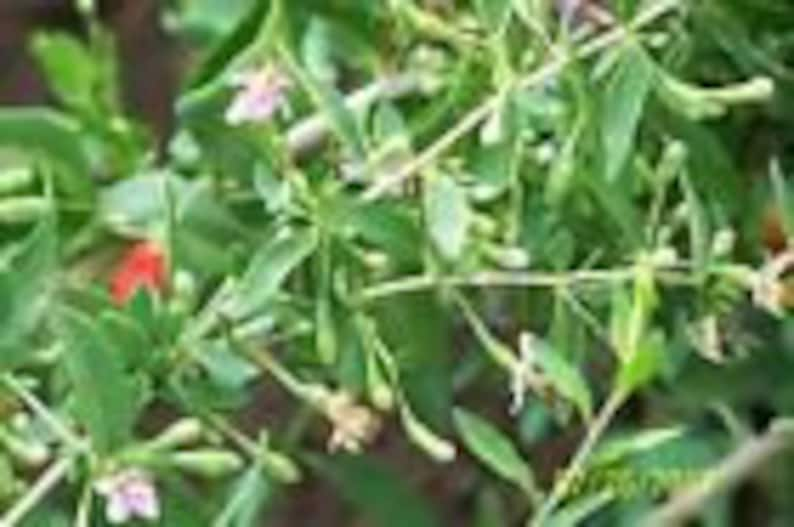 /'crimson star/' organic goji berry plant 2 yr 6 to 8 LG 10 COUNT unrooted cuttings