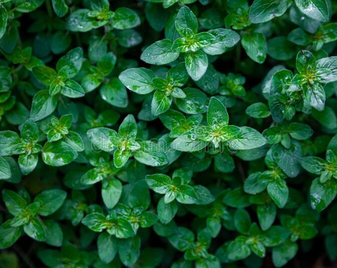 """organic peppermint mint plant unrooted cuttings / 4 count 6"""" long Grown in the U.S.A."""