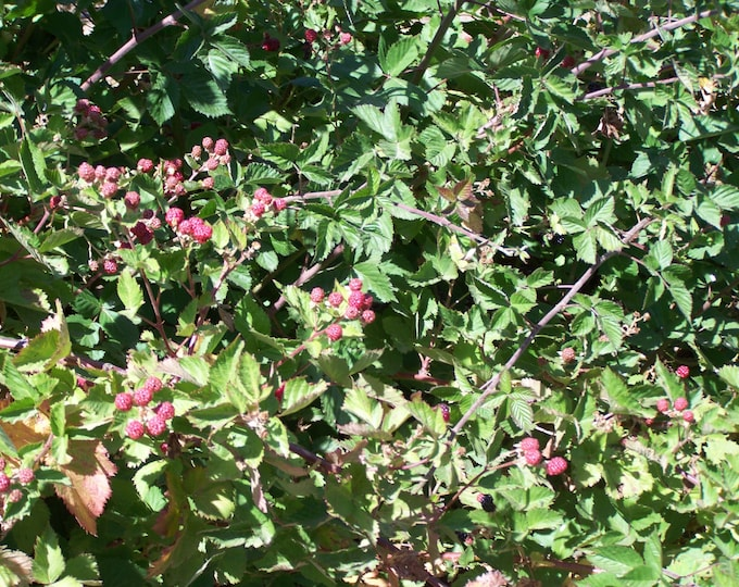 """ORGANIC TRIPLE CROWN thorn less blackberry Bare root plant  6-8"""" long 2 count"""