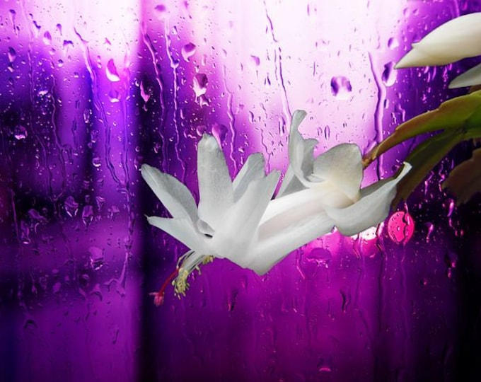 """TRUE Christmas Cactus plants -1 pc. Rooted plant  - 2"""" to 3"""" -- White Flowers - 1 plant (Organic Grown )"""