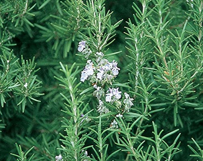 """100 % Organic  Rosemary Herb Plant-  4 -unrooted 6"""" cuttings  / Grown in USA"""