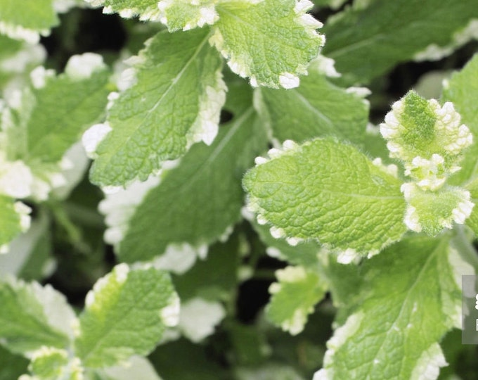"""organic pineapple mint plant rooted plant  / 1 count 6"""" long Grown in the U.S.A."""