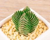 Live Succulent Lithops Cactus Pseudotruncatella Plant Crassula cv. Buddha 39 S Temple 547518892662_6