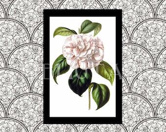 Digital Art - Antique Art - Camellia - Grande Duchessa - Camellia Japonica - Flower Art - Flower Plate  - Book Plate - Antique Book Art